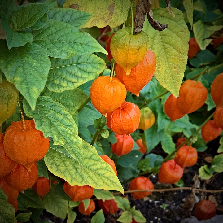 Nature, Ornamental Plant, Lampionblume