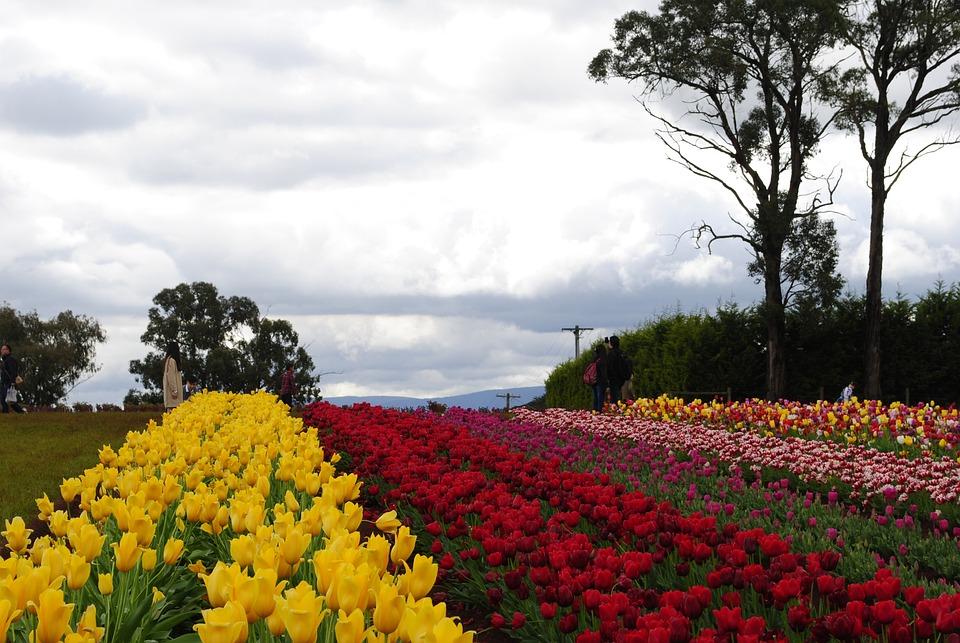 Tulip, Nature, Landscape, Colorful