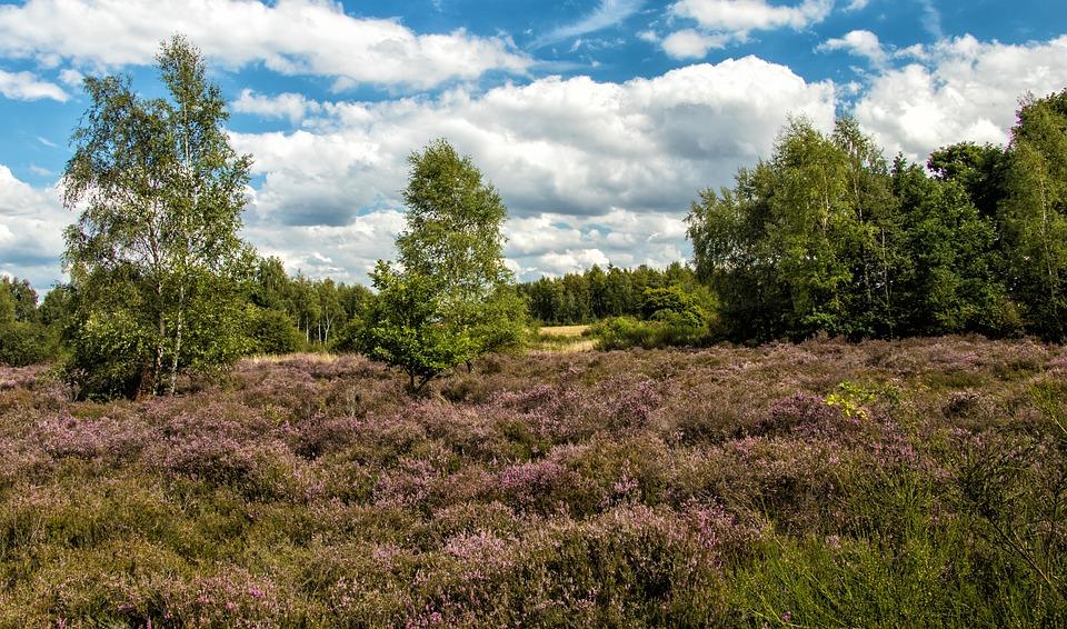 Heide, Heather, Eifel, Drover Heath, Landscape, Nature