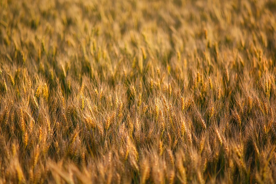 Nature, Grain, Cornfield, Barley, Landscape, Plant