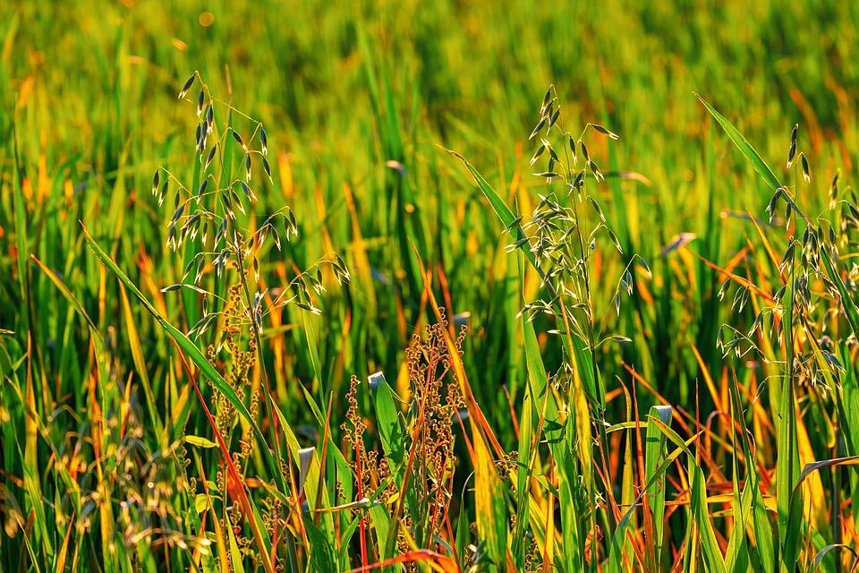 Meadow, Field, Grass, Weed, Nature, Landscape, Rural