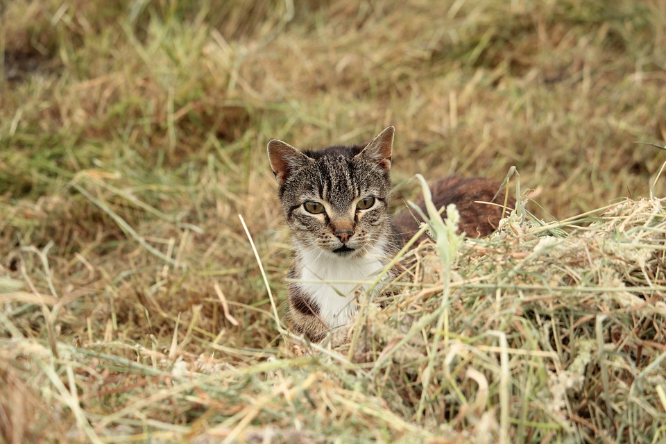 Cat, Hunting, Lauer, Grass, Nature, Cat's Eyes