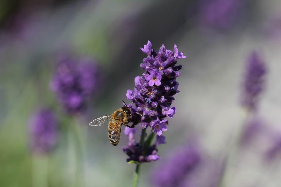 Lavender, Bee, Nature, Insect, Garden, Purple