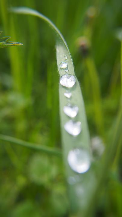 Grass, Green, Drop, Nature, Lawn, Park, Rosa