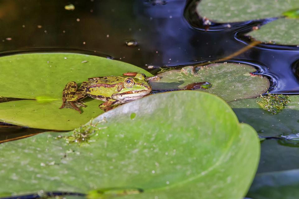 Frog, Water Lily, Leaf, Pond, Nature, Animal