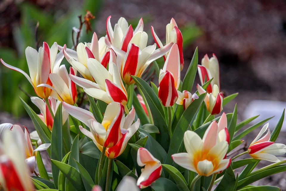 Nature, Flower, Tulip, Flora, Leaf, Beautiful