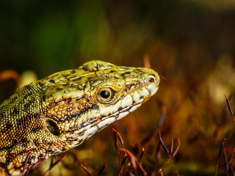 Lizard, Wood, Garden, Nature, Reptile, Flower, Leaf