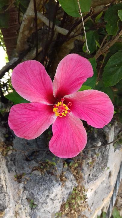 Nature, Flower, Flora, Garden, Leaf, Hibiscus, Pink