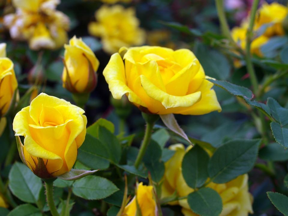 Flower, Flora, Nature, Leaf, Garden, Petal, Rose