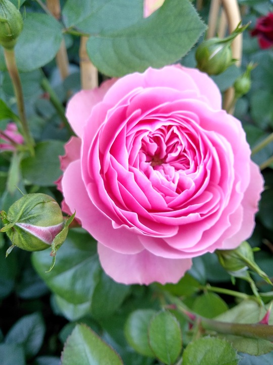 Flower, Rose, Nature, Plant, Leaf, Garden