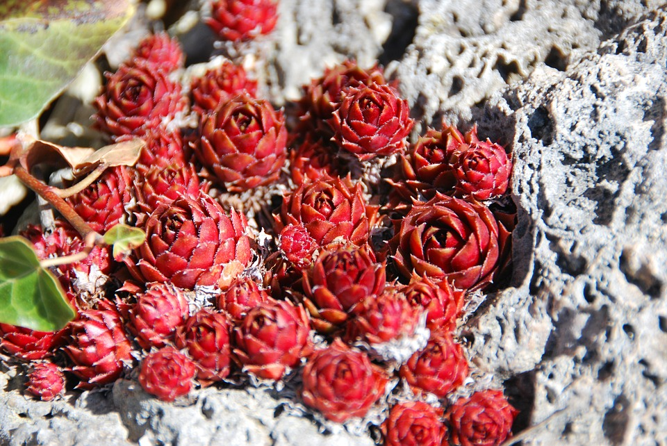 Flowers, Rock, Nature, Leaf, Colorful
