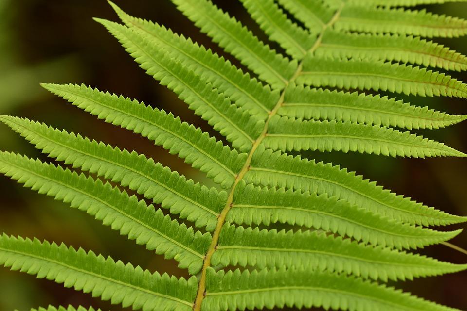Fern, Leaf, Foliage, Nature, Stem, Frond, Bush, Growth