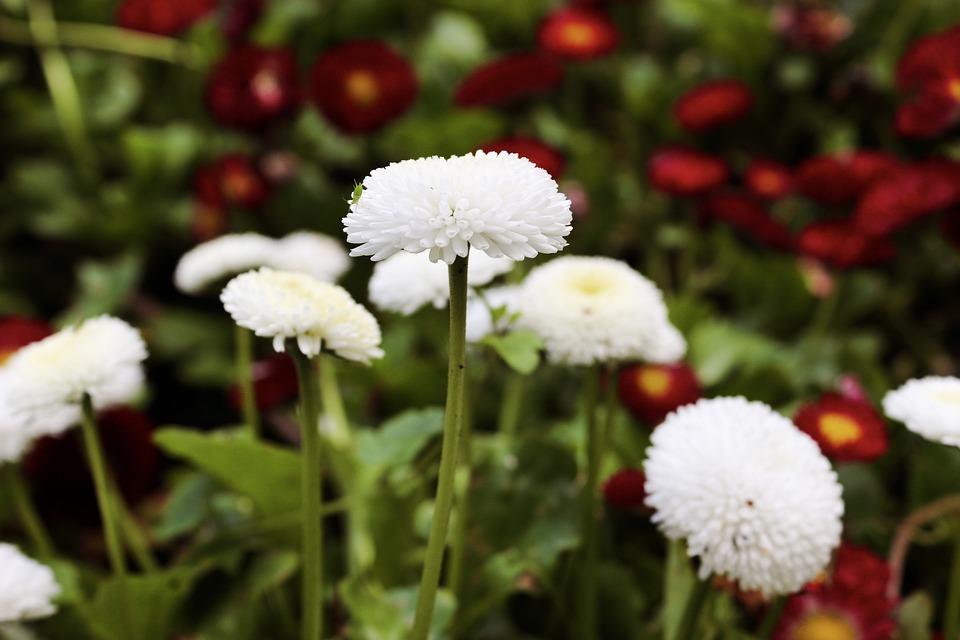 Chamomile, White, Flowers, Leaf, Nature, Plant, Sunny