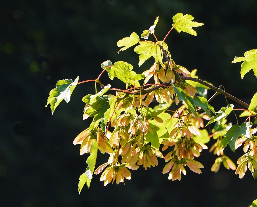 Free photo Nature Leaves Maple Seed Capsules Spring Tree