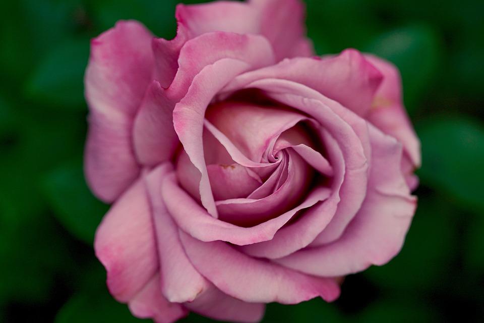 Rose, Pink, Nature, Leaves, Form, Purple