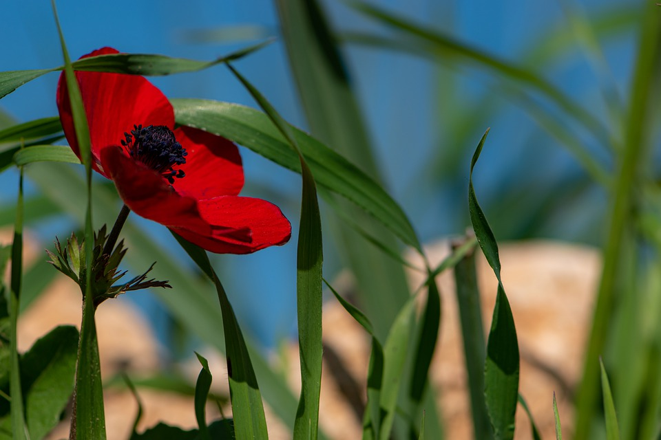 Red, Flower, Spring, Nature, Blossom, Leaves