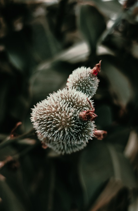 Flowers, Prickly, Thorny, Buds, Leaves, Foliage, Nature