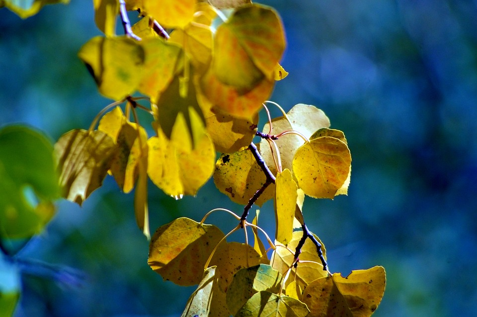 Teton Autumn Leaves, Leaves, Forest, Fall, Nature, Tree