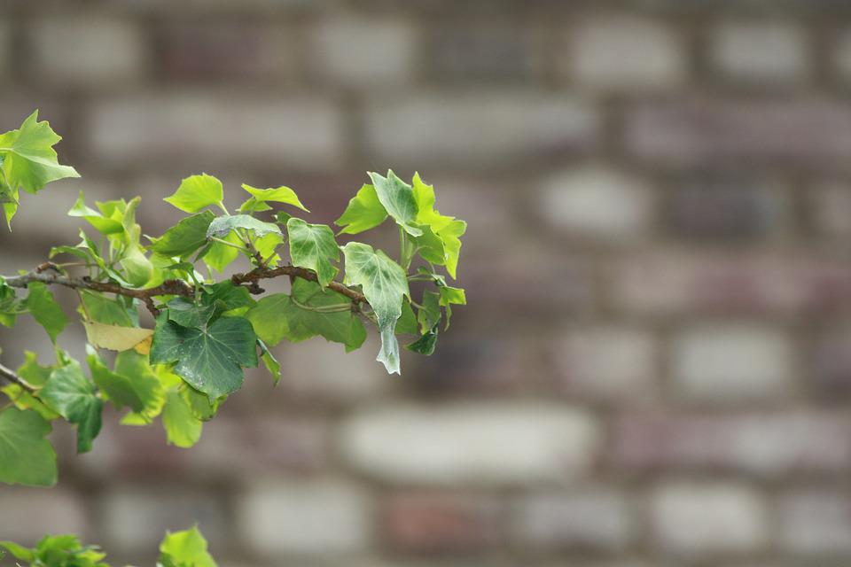 Ivy, Wall, Green, Leaves, Entwine, Nature, Ivy Leaf