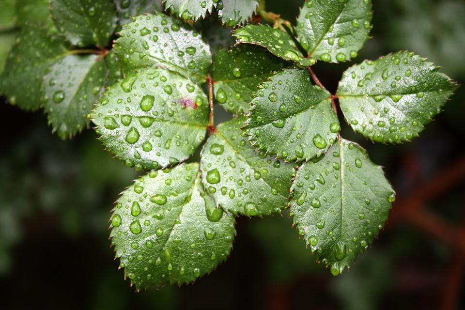 Rose Leaves, Leaves, Green, Nature, Wet, Droplets