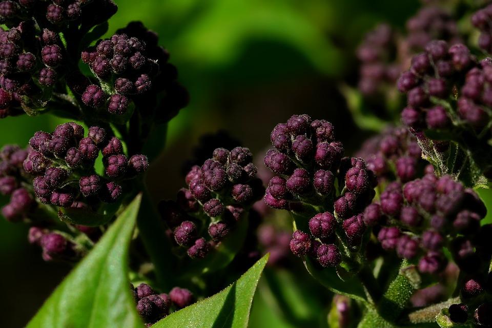 Plant, Flower, Nature, Leaf, Lilac Buds, Spring, Lilac