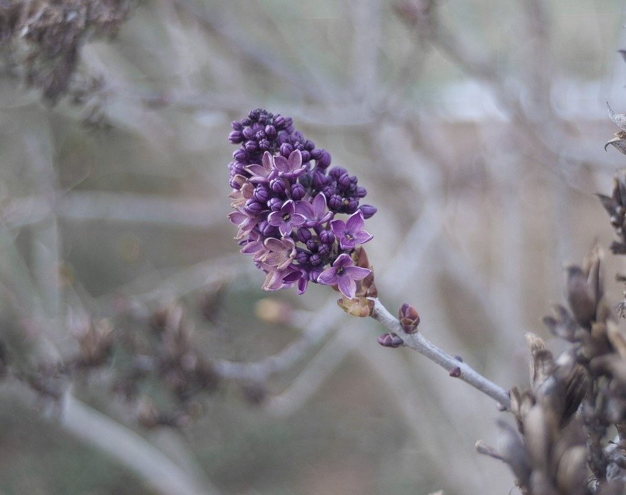Flower, Flora, Nature, Branch, Lilac
