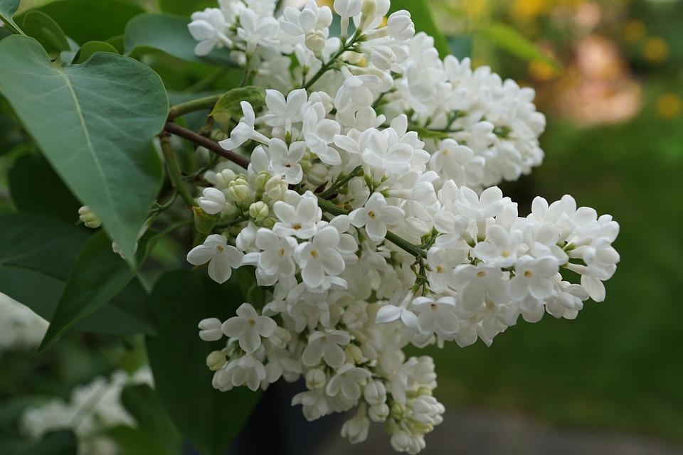 Lilac, White, White Lilac, Blossom, Bloom, Nature