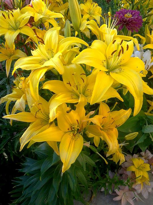 Lily, Nature, Flowers, Bloom, Yellow Lilies, Dacha