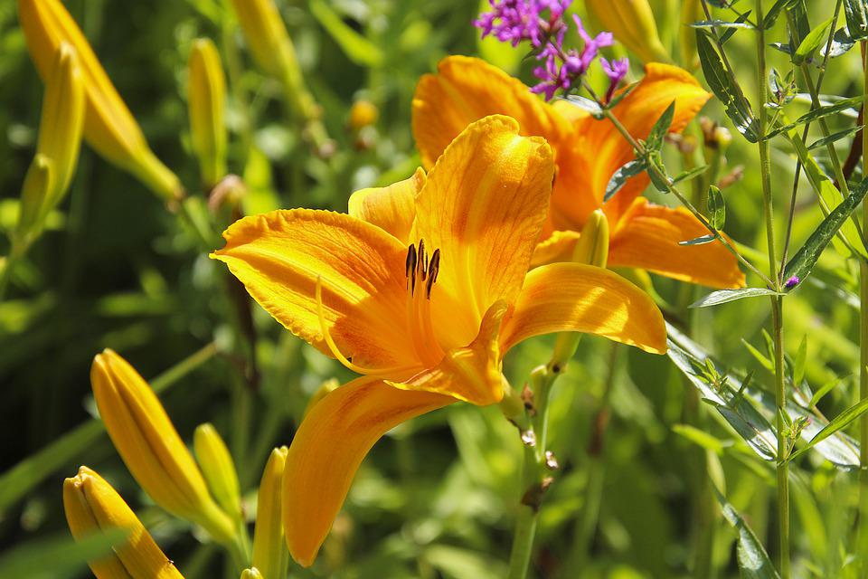 Lily, Plant, Flower, Blossom, Bloom, Nature, Flora