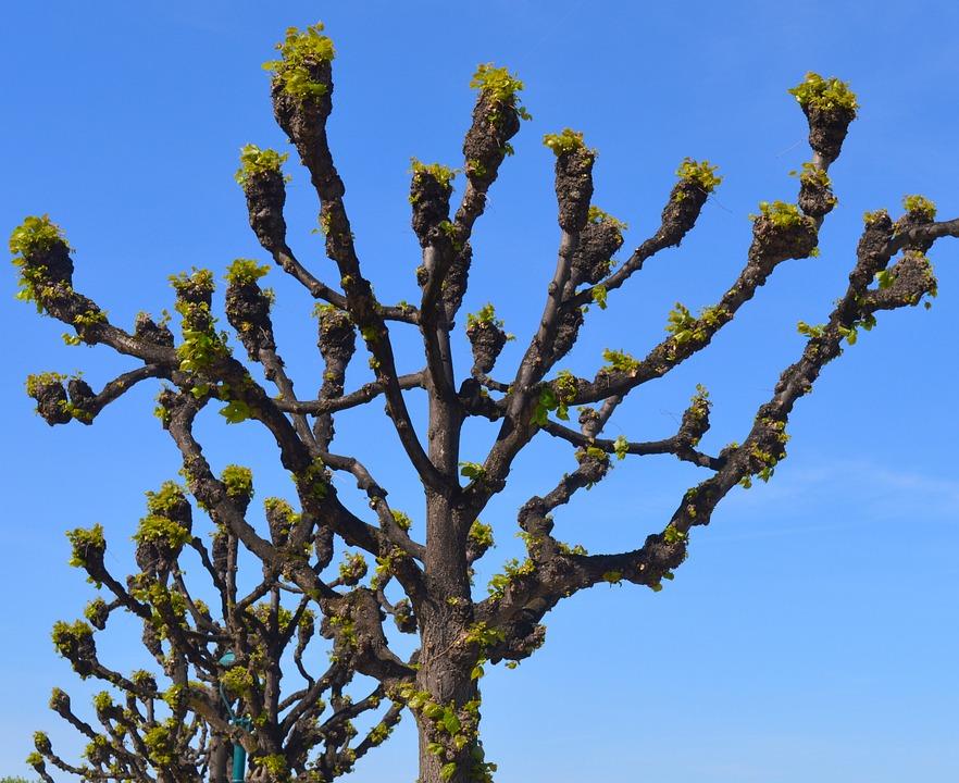 Linde, Tree, Nature, Tribe, Mallow, Malvaceae