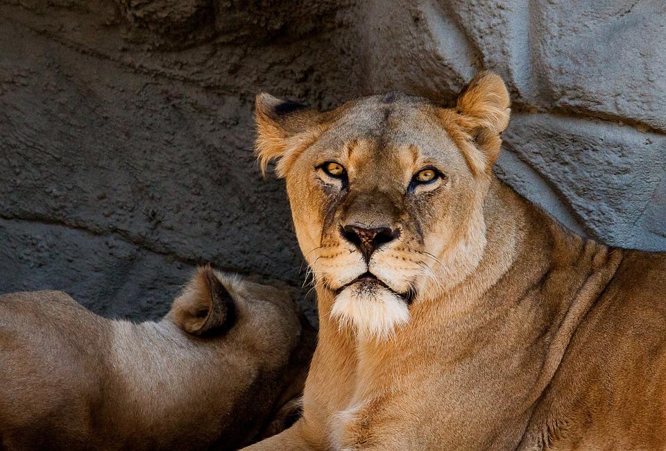Lion, Lioness, Female, Predator, Mammal, Animal, Nature