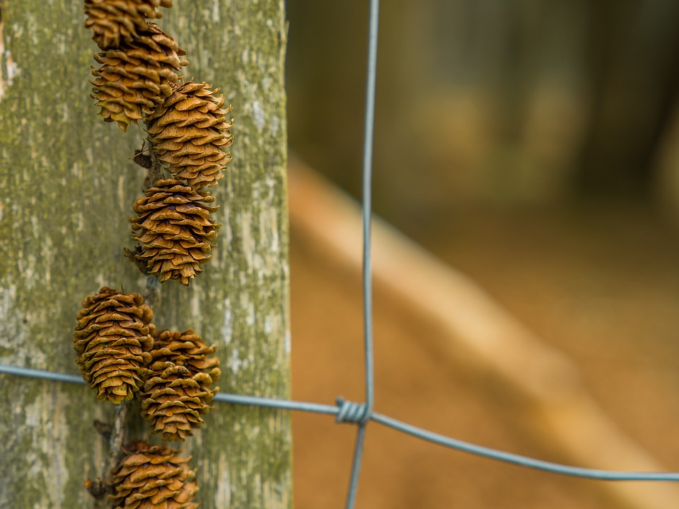 Nature, Pine Cones, Live, Plant, Tap, Autumn, Seeds