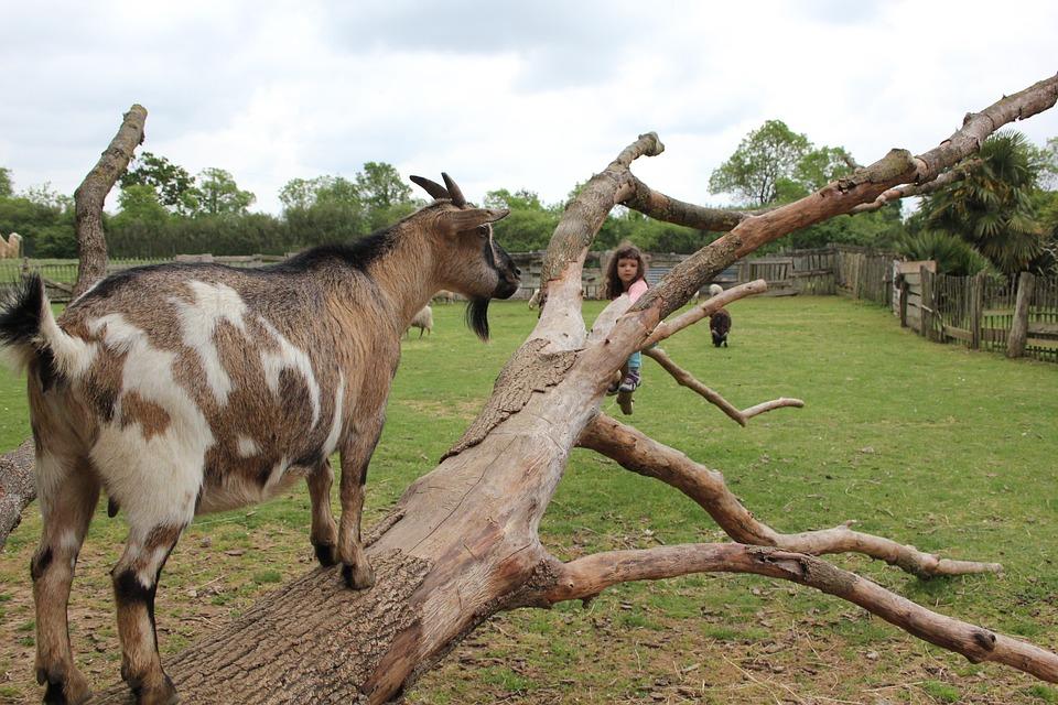 Animals, Goats, Farm, Nature, Livestock, Outdoors