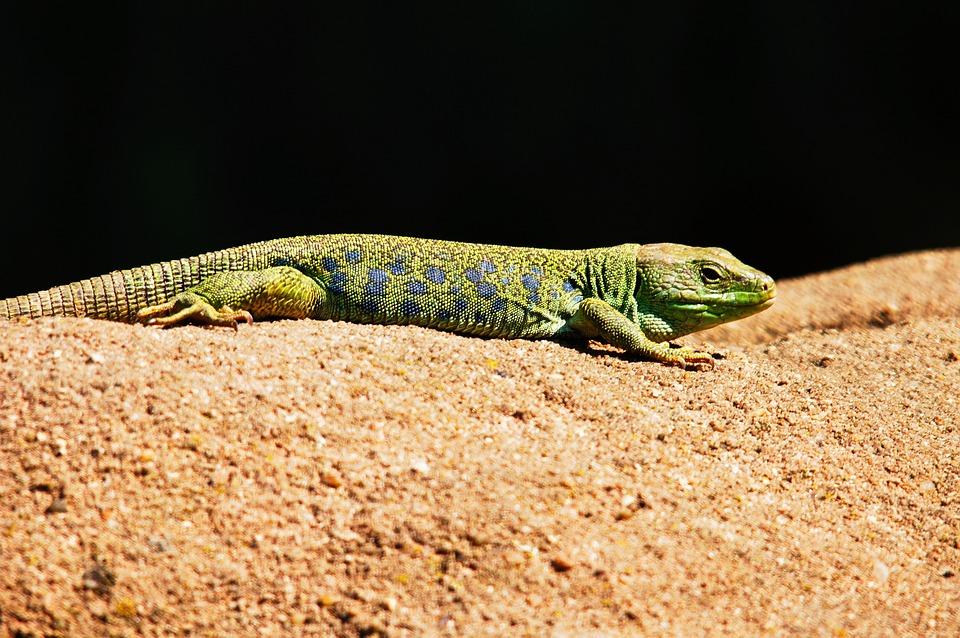 Emerald Lizard, Lizard, Animals, Nature