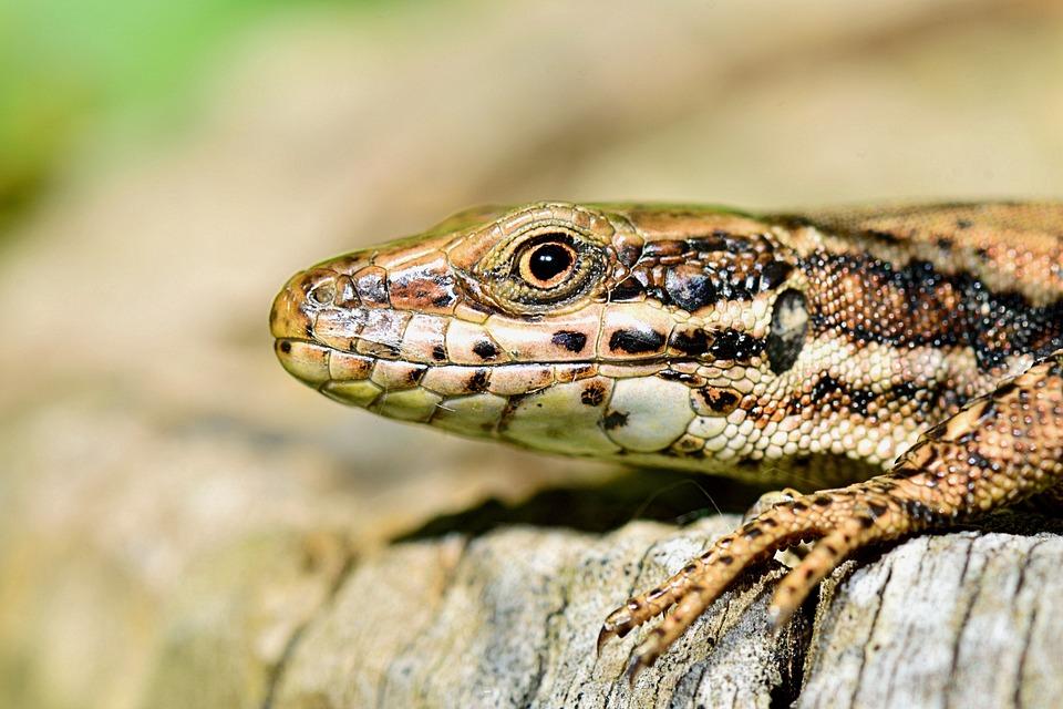 Nature, Lizard, Macro