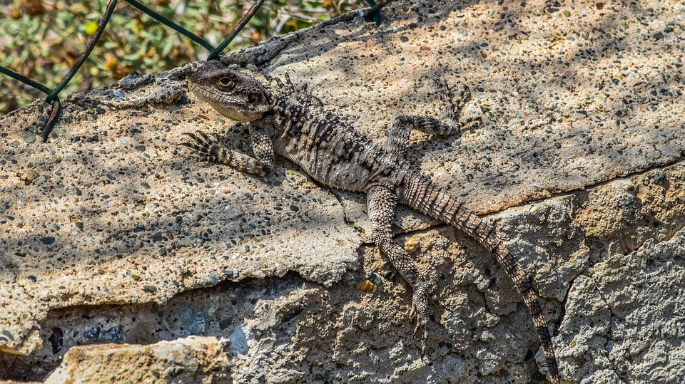 Lizard, Camouflage, Nature, Reptile, Wildlife, Animal