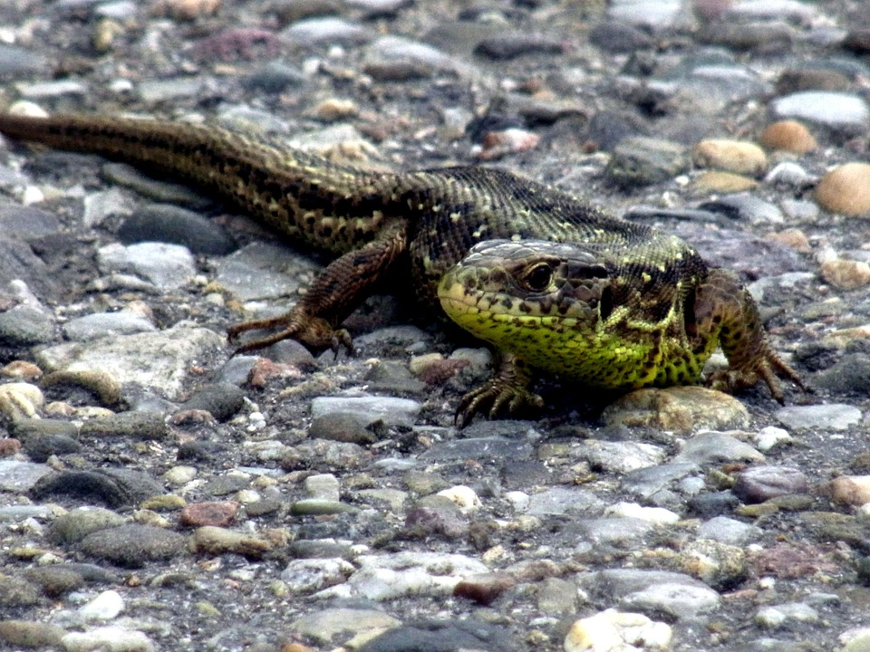 Sand Lizard, Reptile, Animal, Nature, Lizard