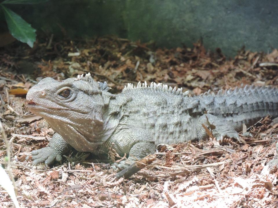 Free Photo Nature Lizard Reptile Tuatara Nz New Zealand Max Pixel