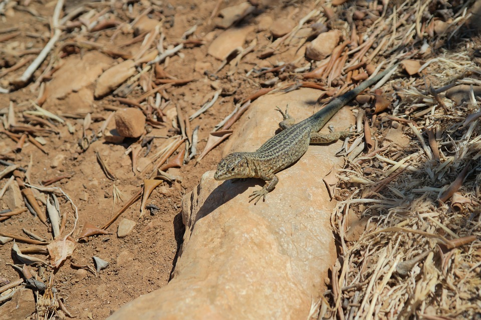 Lizard, Stone, Nature, Reptile, Animal, Summer, Green