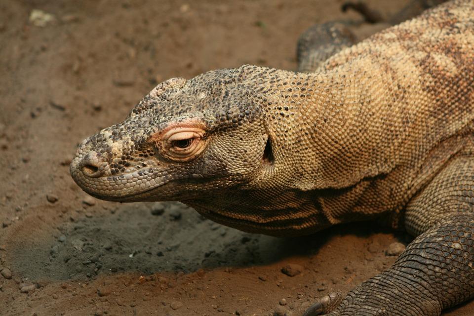 Reptile, Lizard, Wildlife, Nature, Animal, Wild, Sand