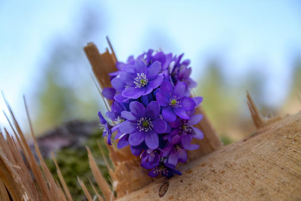 Flower, Hepatica, Log, Forest, Wood, Nature, Plant