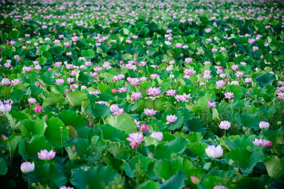 Lotus, Nature, Pink, Flowers, Blossom, Pond, Floral