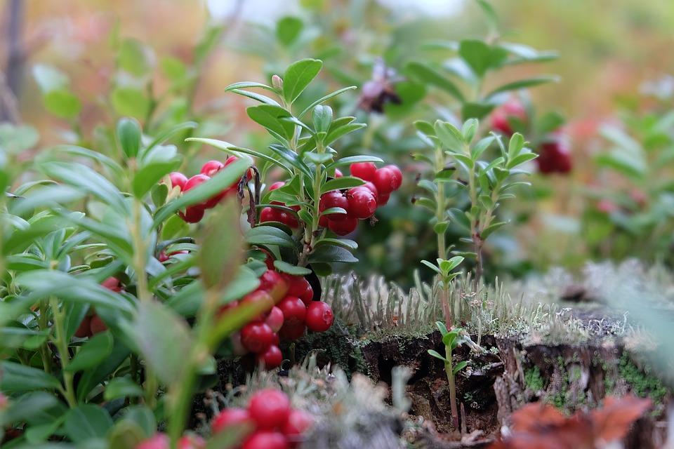 Beauty, Love, Nature, Lake, Finland, Macro, Cranberries