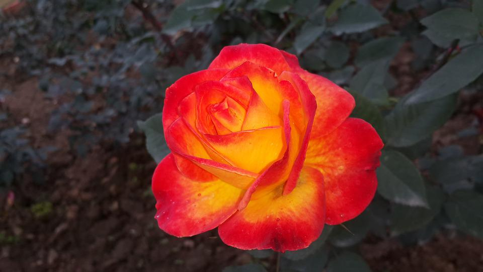 Red Rose Beauty Of Nature Flower Love