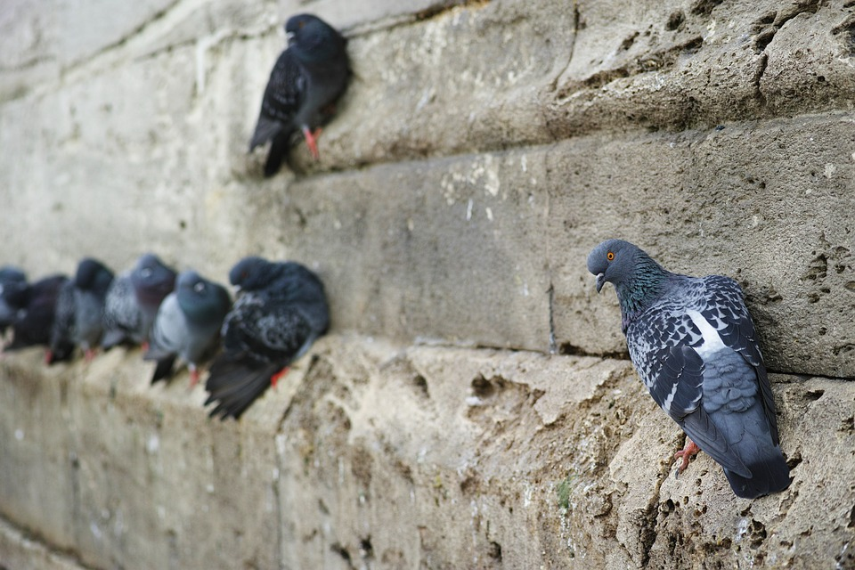 Pigeon, Bird, Fly, Macro, Animal, Birds, Nature