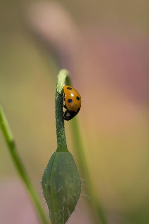 Beetle, Nature, Insect, Macro, Animal World, Ladybug