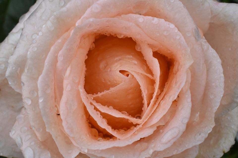 Rose, Large, Rain, Drops, Water, Macro, Nature, Wet