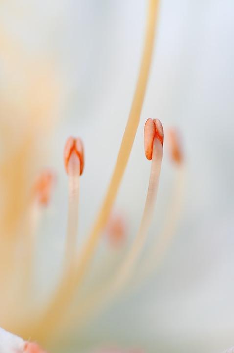 Stamen, Flower, Macro, Nature