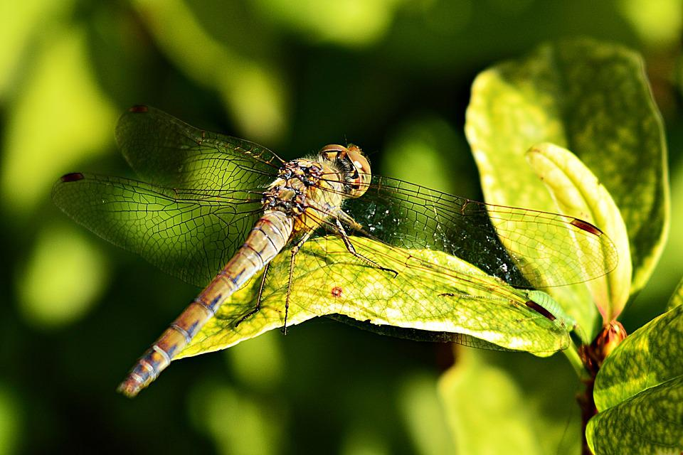 Dragonfly, Insect, Nature, Macro, Flying Insects