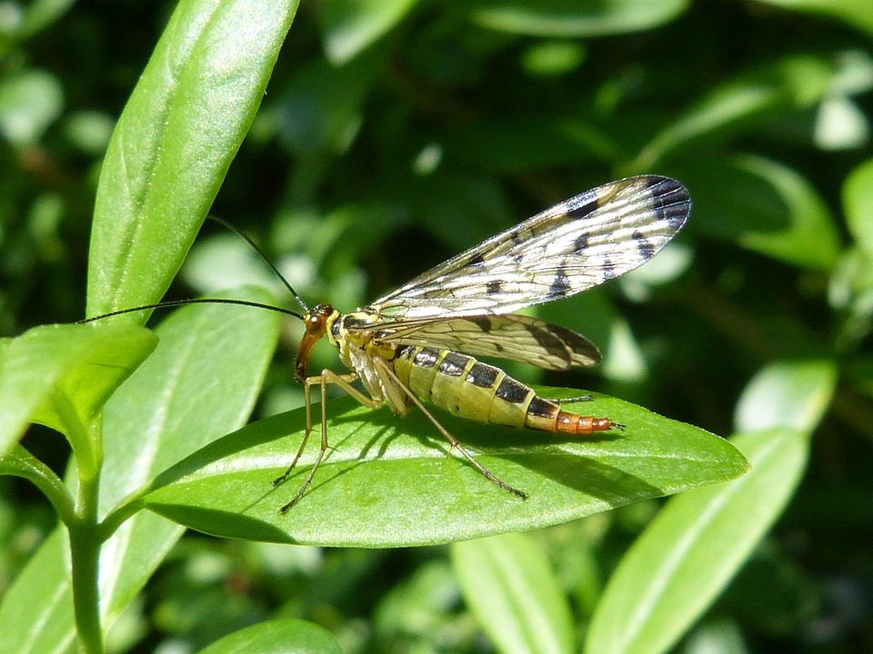 Insect, Communis, Animal, Nature, Macro, Panorpidae